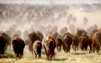 Custer State Park Buffalo Round Up & Arts Festival
